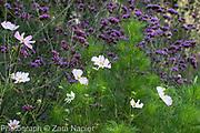 Perovskia 'Blue Spire' and Persicaria affinis 'Superba' RHS AGM, Rosa - pink rose possibly 'The Fairy'?, background:  Stipa gigantea, Verbena bonariensis - September