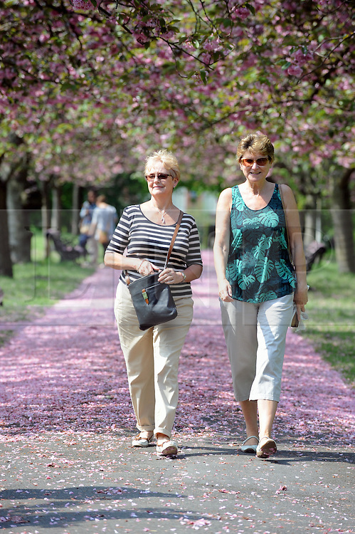 © Licensed to London News Pictures. 12/05/2016<br /> Sunny weather in Greenwich Park,Greenwich,London today (12.05.2016) as people enjoy the falling pink cherry blossom which has made a pink carpet on the pathway.<br /> <br /> (Byline:Grant Falvey/LNP)