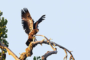 """Young bald eagle """"branching"""".  Young eagles will often hop from branch to branch 7-10 days before they start to fly."""