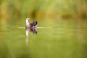 Juvenile Common Moorhen (Gallinula chloropus) swimming in a lake. Photographed in Ein Afek Nature Reserve, Israel in July