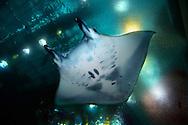 JPN, Japan: Okinawa Churaumi Aquarium, Manta Rochen (Manta birostris), über ihm die Lichter der Scheinwerfer, Stahltraeger des Aquariums sichtbar, Ocean Expa Park, Okinawa, Okinawa | JPN, Japan: Okinawa Churaumi Aquarium, Manta ray (Manta birostris), spotlight above it, steel beams of the aquarium visible, Ocean Expo Park, Okinawa, Okinawa |