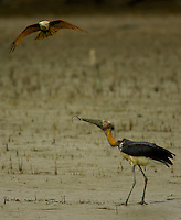 A Brahminy Kite dives at a Lesser Adjutant Stork that has just pulled a large worm out of the mud on the bank of a mangrove channel.  The stork holds the worm in its beak and defends itself with its large beak.  The Stork in an Endangered Species (IUCN Red LIst: VU)