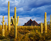 Storm over North Ajo Peak, Saguaros in Cabeza Prieta National Wildlife Refuge, Arizona.