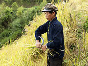 An Akha Oma man from Ban Na Nam village harvests his hill rice. Slash and burn cultivation or 'hai' in Lao PDR consists of cutting the natural vegetation, leaving it to dry and then burning it for temporary cropping of the land, the ash acting as a natural fertiliser. Shifting cultivation practices, although remarkably sustainable and adapted to their environment in the past, have come under increasing stress in recent decades and are now starting to be a major problem in Lao PDR, causing widespread deforestation and watershed degradation.