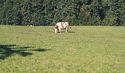 THEMENBILD - Milchkühe auf einer Weide, aufgenommen am 29. September 2019 in Saalfelden, Oesterreich // dairy cows in a pasture in Saalfelden, Austria on 2019/09/29. EXPA Pictures © 2019, PhotoCredit: EXPA/ JFK