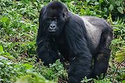 A  Silver-backed mountain gorilla (Gorilla beringei beringei) walking through the forest, Volcanoes National Park, Rwanda