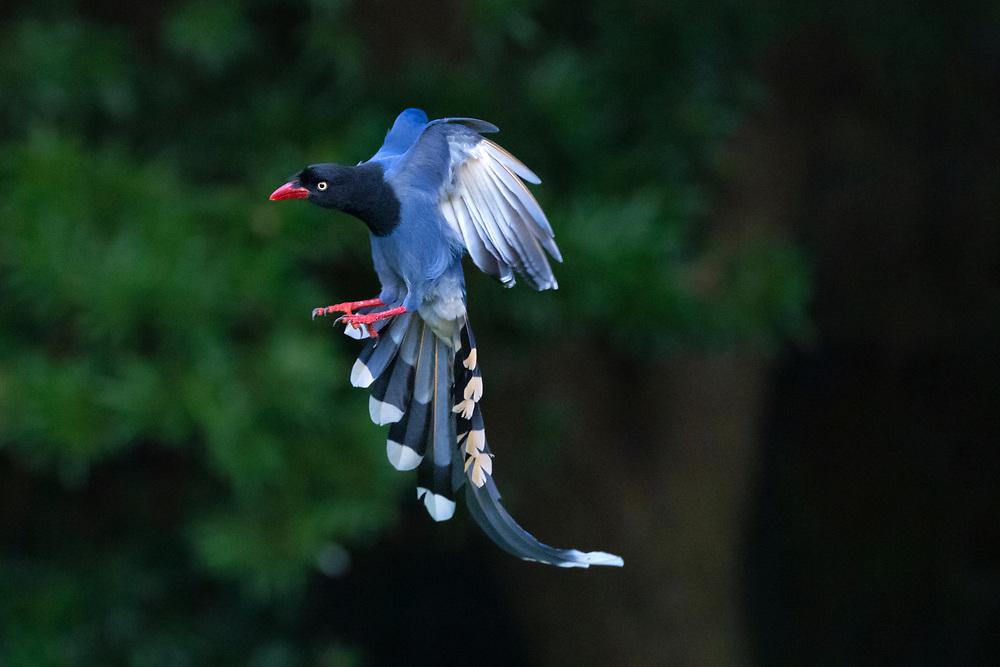 Taiwan blue magpie, Urocissa caerulea, in Taipeh, Taiwan, endemic species