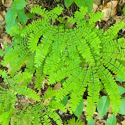 Maidenhair Fern, Adiantum pedatum L.  Northern Madenhair.  Plainfield, New Hampshire.