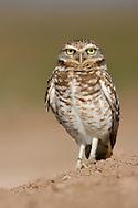 Burrowing Owl - Athene cunicularia - Adult
