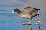 Stock Photo of American Coot captured in Colorado.  Also called mud hens, these birds live in shallow marshes, ponds and wetlands.