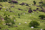 Santo Antonio do Jacinto_ MG, Brasil...Gato em um pastao em Santo Antonio do Jacinto...The cattle in the pasture in Santo Antonio do Jacinto...Foto: LEO DRUMOND / NITRO.