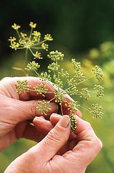 Harvesting fennel seeds - Foeniculum vulgare