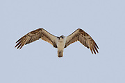 Stock photo of flying osprey captured in Florida.  This raptor feeds mainly on fish.  The feathers are highly water resistant and the feet are heavily scaled to better clamp onto the fish.