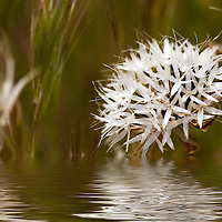 White wild flower in antelope valley, california, with green and brown background.