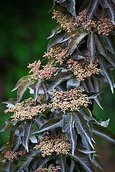 Sambucus nigra 'Black Tower'