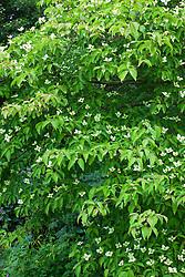 Cornus 'Norman Hadden' AGM in flower. Dogwood