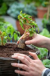Planting up a hanging basket using begonia plug plants