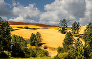 Wheat and canola fields in various staqes of harvest bask in sunlight on a hillside cut by wooded  gullies on the Palouse.
