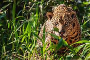A close-up of a wild jaguar (Panthera onca) alert with anticipation, Pantanal, Brasil, South America