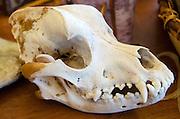 Skull of an Eastern Coyote (Canis latrans var.), Common Ground Fair, Unity, Maine.