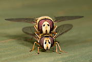 Close-up front view of a pair of hover-flies (Eupeodes corollae) mating on a fence in a Norfolk garden in summer.