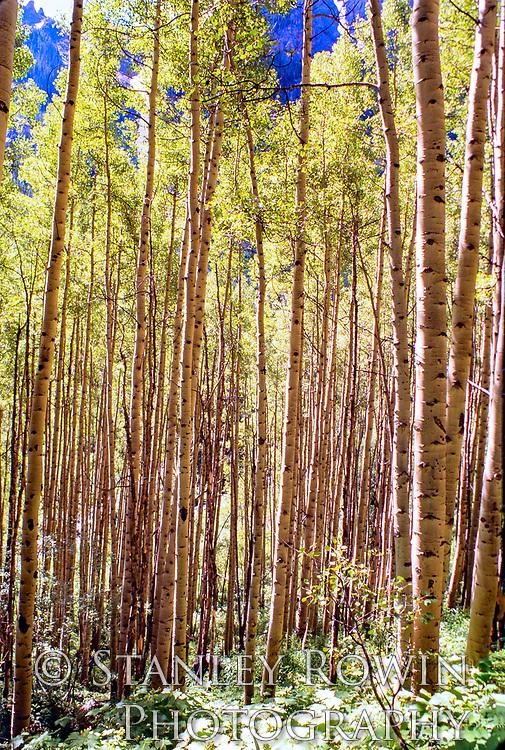 Pattern of Aspen Trunks in Forest