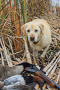 Keith Crowley's Yellow Lab, Rosie, with a Canvasback, Canada goose and double-barrelled shotgun.