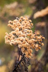 Seedheads of Vernonia fasciculata. Ironweed