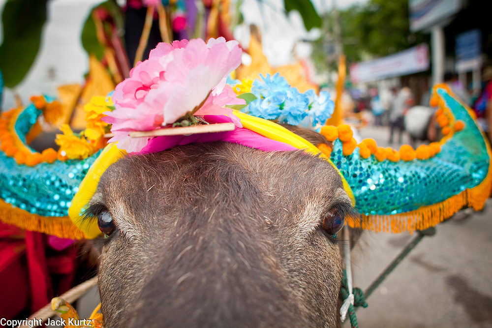 Oct. 3, 2009 - CHONBURI, THAILAND: A water buffalo in the parade during the first day of races at the Chonburi Buffalo Races Festival, Saturday, Oct. 3. Contestants race water buffalo about 200 meters down a muddy straight away. The buffalo races in Chonburi first took place in 1912 for Thai King Rama VI. Now the races have evolved into a festival that marks the end of Buddhist Lent and is held on the first full moon of the 11th lunar month (either October or November). Thousands of people come to Chonburi, about 90 minutes from Bangkok, for the races and carnival midway. Photo by Jack Kurtz / ZUMA Press