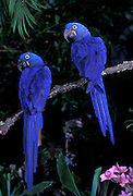 Hyacinth Macaw (Anodorhynchus hyacinthinus) pair. Range: E Brazil - E Bolivia.