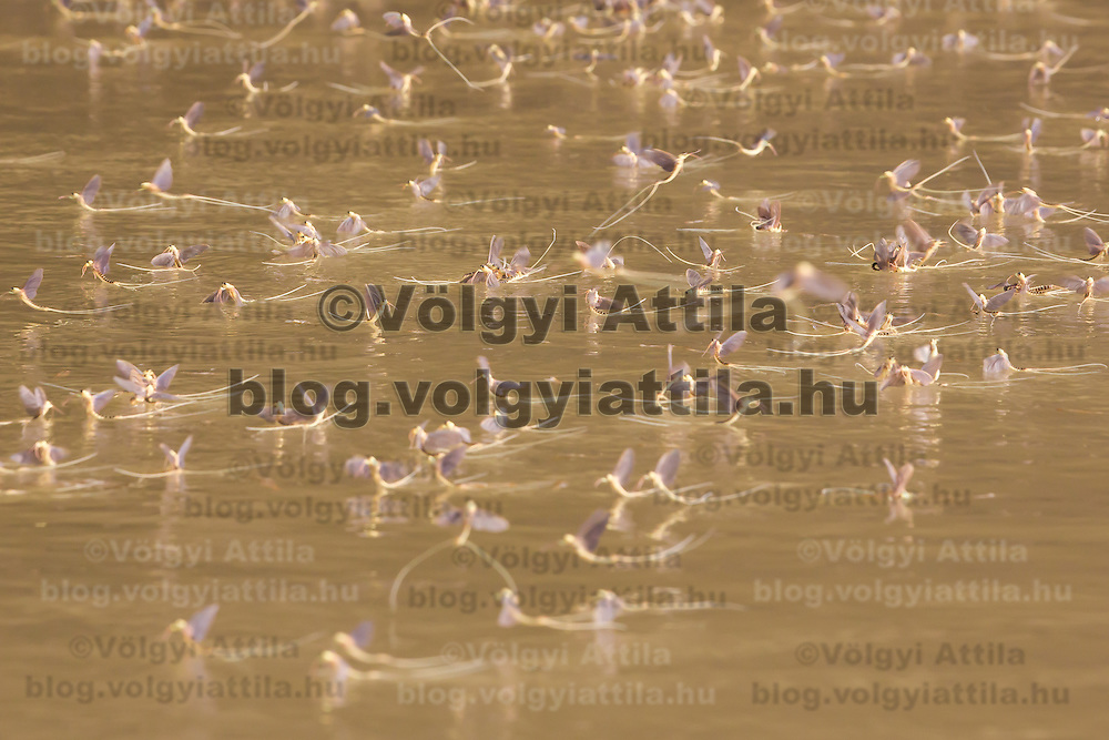 Yearly few days long swarming of the long-tailed mayfly (Palingenia longicauda) on the river Tisza in Tiszainoka (some 135 km south-east from Budapest), Hungary on June 23, 2013. ATTILA VOLGYI<br /> The long-tailed mayfly larves live 3 years under water level in the river banks then swarm out for a one day period of their life to die after mating.