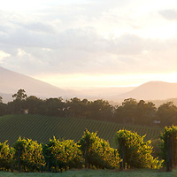 Sun rises over vines at Killara Estate in the Yarra Valley, Victoria