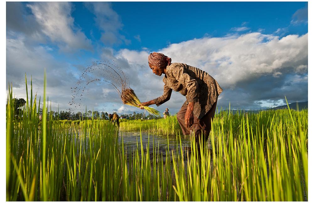 Rice Harvest, Kampot, Cambodia.