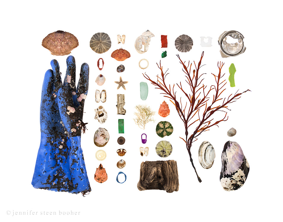 Top to bottom, left to right:<br /> <br /> Row 1: Rock Crab (Cancer irroratus), vinyl glove with coralline encrustations and marine algae holdfasts<br /> Row 2: Sand Dollar (Echinarachnius parma), lobster-claw band, Common Slipper Shell (Crepidula fornicata), unidentified bivalve - possibly a baby Razor Clam (Ensis directus), Northern Rock Barnacle (Semibalanus balanoides), Slipper Shell, plastic lining from bottle cap, Toad Crab (Hyas araneus)<br /> Row 3: unidentified bivalve - possibly a baby Razor Clam (Ensis directus). I think this is a Jonah Crab (Cancer borealis) but it has hairs on its back, which is weird. Common Periwinkle (Littorina littorea), unidentified Sea Star (Asterias sp.), Paper Birch bark (Betula papyrifera), lobster-claw band, acorn cap (Quercus sp.), juvenile Green Crab (Carcinus maenas), Common Periwinkle, lobster-claw band<br /> Row 4: Moon Snail (Lunatia heros), plastic lining from bottle cap, sea glass, Coralline (Corallina officinalis), plastic stitch marker, unidentified bivalve - possibly a baby Razor Clam (Ensis directus), driftwood<br /> Row 5: lobster-claw band, fragment of lobster-claw band, Toad Crab, Sand Dollar, Green Sea Urchin (Strongylocentrotus drobachiensis)<br /> Row 6: Sand Dollar, Rockweed (Ascophyllum nodosum)<br /> Row 7: plastic bread bag tag, Soft-Shell Clam (Mya arenaria), aluminum soda can top, unidentified plastic fragment, Common Periwinkle, Horse Mussel (Modiolus modiolus)