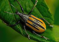 Diaprepes abbreviatus - Diaprepes Root Weevil.  Enchanted Forest Sactuary, Titusville, Florida USA