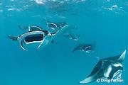 reef manta rays, Manta alfredi (formerly Manta birostris ), feeding on plankton, Hanifaru Bay, Baa Atoll, Maldives ( Indian Ocean )