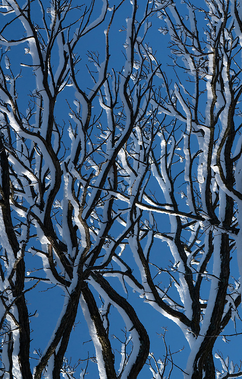 Fresh snow on tree branches from a snow storm the night before.