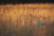 Roe deer (Capreolus capreolus) buck in sunset illuminated meadow
