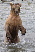 Water streams off a Brown (Grizzly) Bear standing on its hind legs in the river to better spot salmon.(Ursus arctos horribilis).Katmai National Park, Alaska