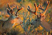 LIGHT ON EARTH| Mule deer (Odocoileus hemionus) friends (and a caddisfly on an antler) in sunset, Sonoran desert, Arizona.