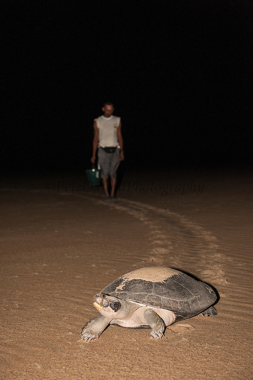 Giant River Turtle (Podocnemis expansa) after laying eggs & Simon Elayea.  CAPTIVE-REARING PROGRAM FOR REINTRODUCTION TO THE WILD<br /> CITES II      IUCN ENDANGERED (EN)<br /> Playita Beach, (mid) Orinoco River, 110 Km north of Puerto Ayacucho. Apure Province, VENEZUELA. South America. <br /> L average 90cm, Wgt 30-45kg. Largest fresh water river turtle in South America. Eggs round & 42mm. 90-100 per clutch. 6-8 weeks incubation.<br /> (This female measured:69cm curved carapace length & weighed:31kg and layed 121 eggs) Females come ashore to sun themselves for several days before laying to boost egg development.  They lay when the river is at its lowest. Herbacious and live in white or black water rivers moving into flooded forests of the Amazon during the wet season to feed on fallen seeds and fruit.<br /> RANGE: Amazonia, Llanos & Orinoco of Colombia, Venezuela, Brazil, Guianas, Ecuador, Peru & Bolivia.<br /> Project from Base Camp of the Protected area of the Giant River Turtle (& Podocnemis unifilis). (Refugio de Fauna Silvestre, Zona Protectora de Tortuga Arrau, RFSZPTA)<br /> Min. of Environment Camp which works in conjuction with the National Guard (Guardia Nacional) who help enforce wildlife laws and offer security to camp. From here the ministery co-ordinate with other local communities along the river to hand-rear turtles for the first year of their life and then release them. They pay a salary to a person in each community that participates in the project as well as providing all food etc. The turtles are protected by law and there is a ban on the use of fishing nets in the general area. During egg laying season staff sleep on the nesting beaches to monitor the nests.  All nests layed on low lying ground are relocated to an area not likely to flood. They are then surrounded by a net to catch all hatchlings who will then spend the first year of their life in captivity to increase their chances of survival. Biometric data is taken from any female they find that has layed eggs and is returning t