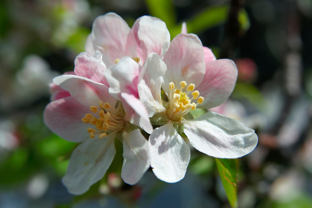 Stock Photos of close up of apple blossom an apple tree. Funky stock photos libra