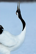Red Crowned Crane, Grus japonensis, close up, displaying, dancing, head back, beak open, calling, Hokkaido Island, japanese, Asian, cranes, tancho, crested, white, black,  wilderness, wild, untamed, photography, ornithology, snow, graceful, majestic