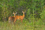 White-tailed deer (Odocoileus virginianus) bucks at edge of aspen parkland forest<br />Fairford River<br /><br />Canada