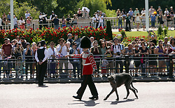 The Irish Guards wolfhound mascot, Domhnall, makes its way down The Mall from Buckingham Palace, central London to Horse Guards Parade for the Trooping the Colour ceremony as the Queen celebrates her official birthday today.