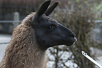 Ande the Llama, ZSL London Zoo Annual Stocktake 2016, Regents Park, London UK, 04 January 2016, Photo By Brett D. Cove