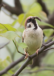 Time To Feed As The Sparrow Perches On A Tree Branch, Looking To Get Back To The Nest