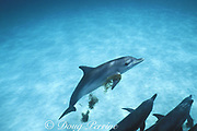 Atlantic spotted dolphin, Stenella frontalis, plays keep-away with seaweed ( Sargassum ), Little Bahama Bank, Bahamas ( Western Atlantic Ocean )