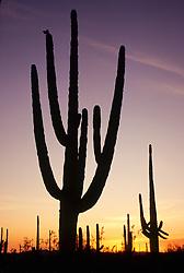 North America, United States, Arizona, Saguaro National Monument. Saguaro cacti (Carnegiea gigantea) at sunset; grow to 50' in 150 years