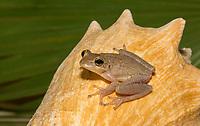 A Cuban Treefrog, Osteopilus septentrionalis, sits on a conch shell in Isla de la Juventud, Cuba